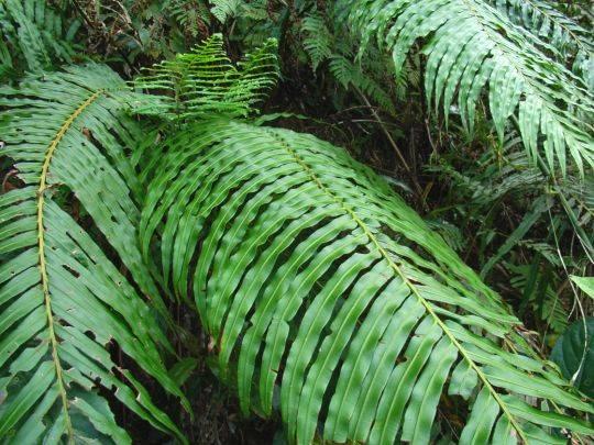 ヒリュウシダ 奄美大島 3月 葉が展開する前の「ぜんまい」の様子 南西諸島のシダの主... ヒリ