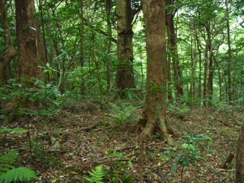 イスノキ林 長崎県対馬 龍良山 6月 暖帯林の主要構成樹種のひとつで、とくに自然度... イスノ