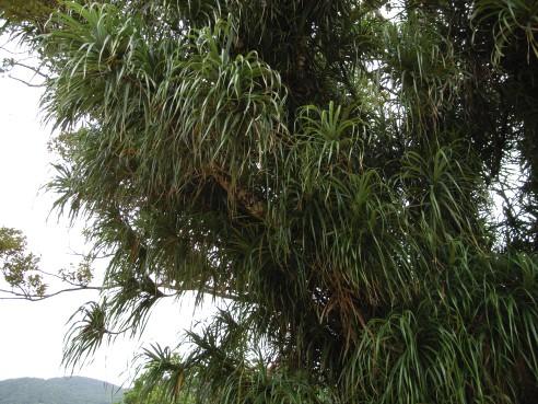 ツルアダン Freycinetia formosana
